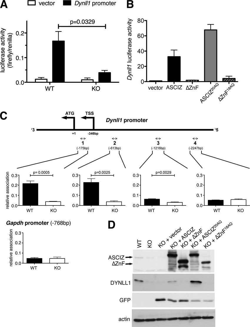 medium resolution of asciz regulates dynll1 as a znf transcription factor a firefly download scientific diagram