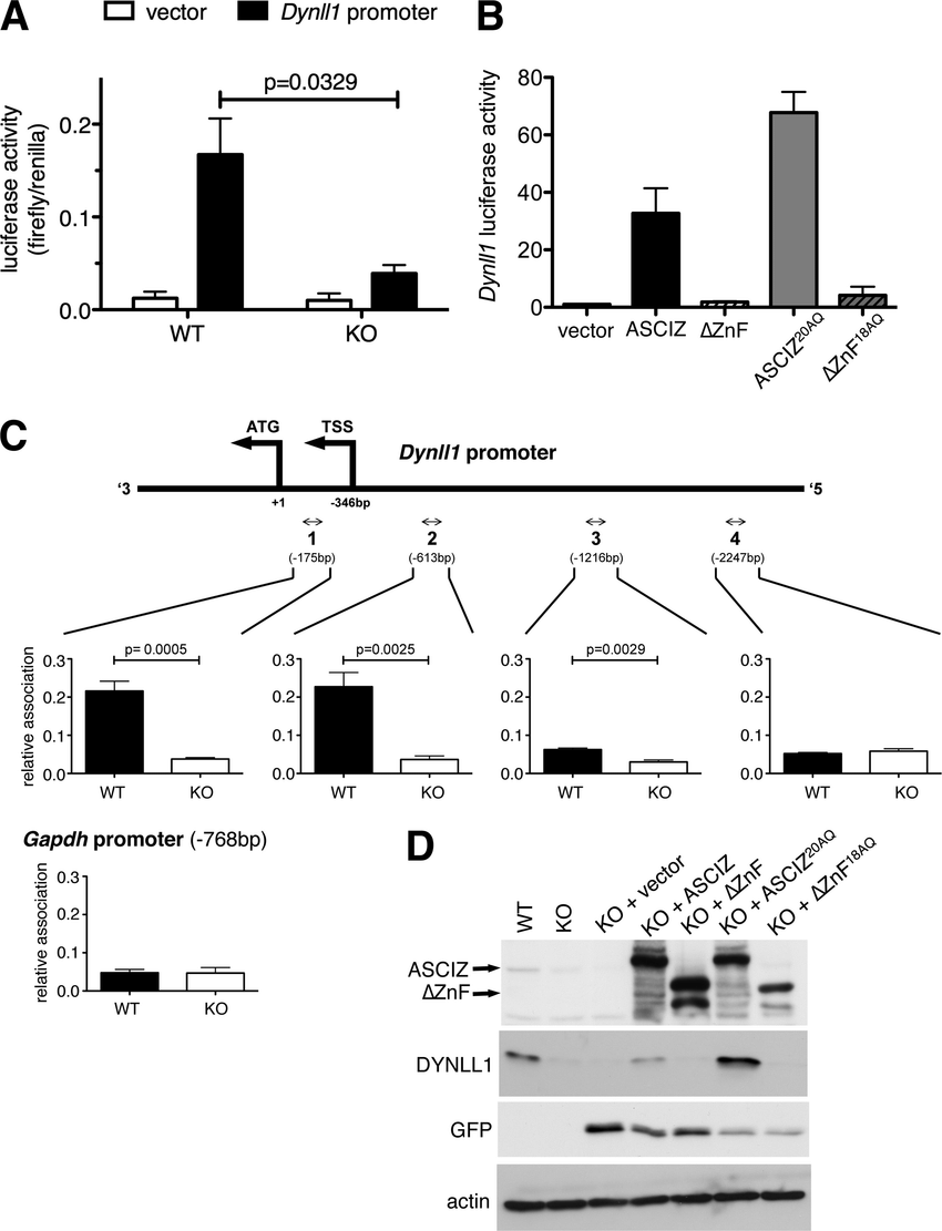 hight resolution of asciz regulates dynll1 as a znf transcription factor a firefly download scientific diagram