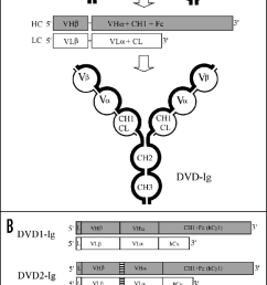 schematic diagram of dual variable domain dvd ig a generation [ 657 x 1199 Pixel ]