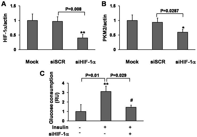 HepG2 cells were transfected with siHIF-1α (40 nM) and
