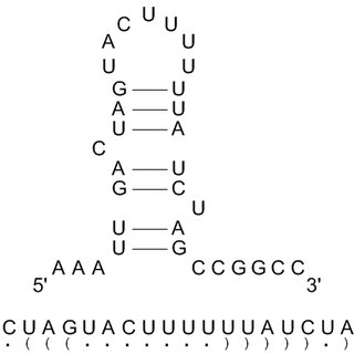 Sequence and structure of a hypothetical pre-miRNA and its