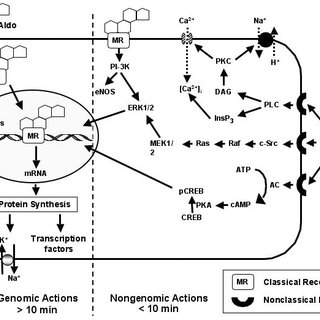 Genomic and Non-genomic Actions of Aldosterone. In the