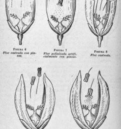 crossing two rice varieties the breeder used forceps to remove the male organs of the [ 850 x 1250 Pixel ]