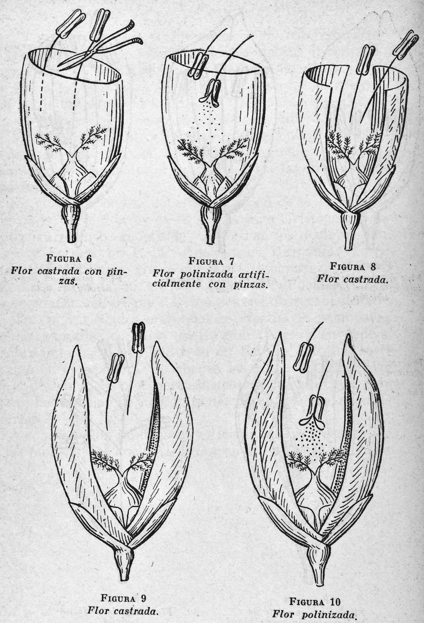 hight resolution of crossing two rice varieties the breeder used forceps to remove the male organs of the