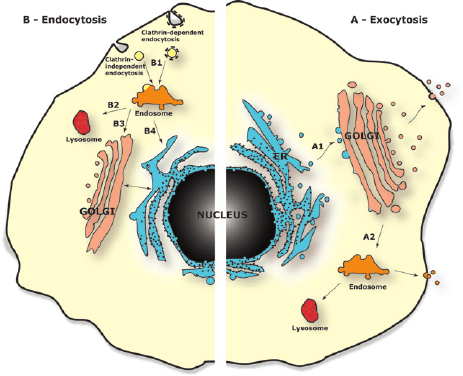 eukaryotic endomembrane system cell diagram the lung anatomy label schematic representation of showing multidirectional trafficking routes between its main organelles a exocytic pathway