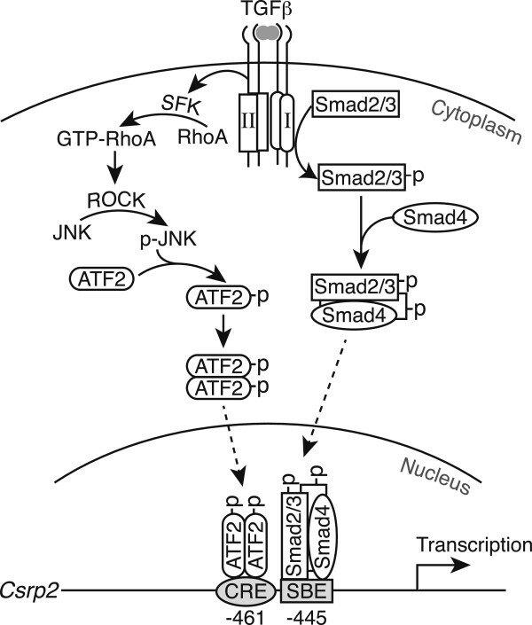 Icasp Gene Diagram Of Induction