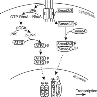 Schematic model of TGFβ signaling pathways for CRP2