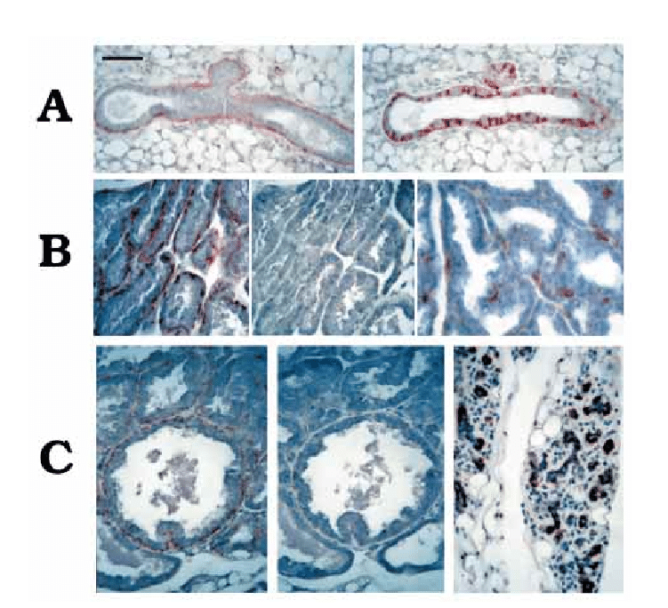 The expression of CD44 and SMA in the mammary gland during ...