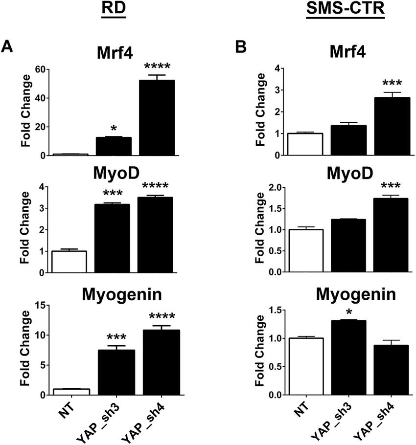 YAP suppression promotes myogenic transcription factor