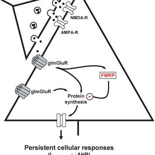 Group I mGluR model of epileptogenesis Activation of group