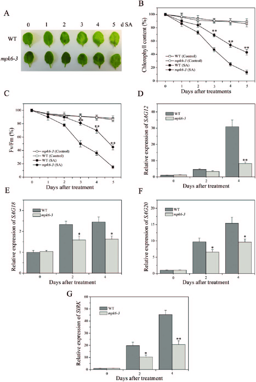 Delayed senescence phenotype in detached leaves of mpk6-3