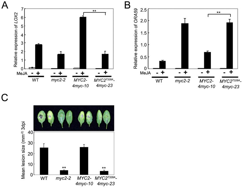 Phosphorylation of MYC2 at Thr328 Affect Its Transcription