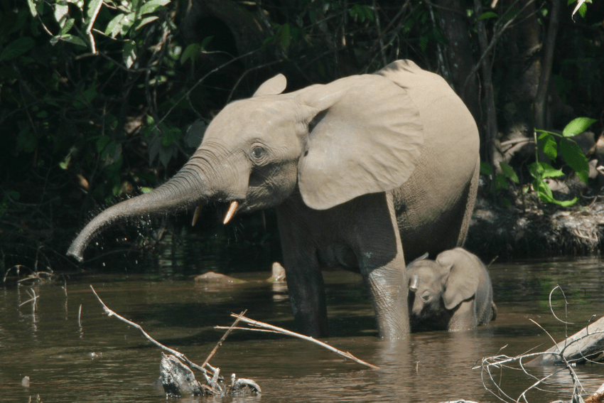 The african forest elephant and african bush elephant (l. Forest Elephants In The Mbeli River Nouabale Ndoki National Park Download Scientific Diagram