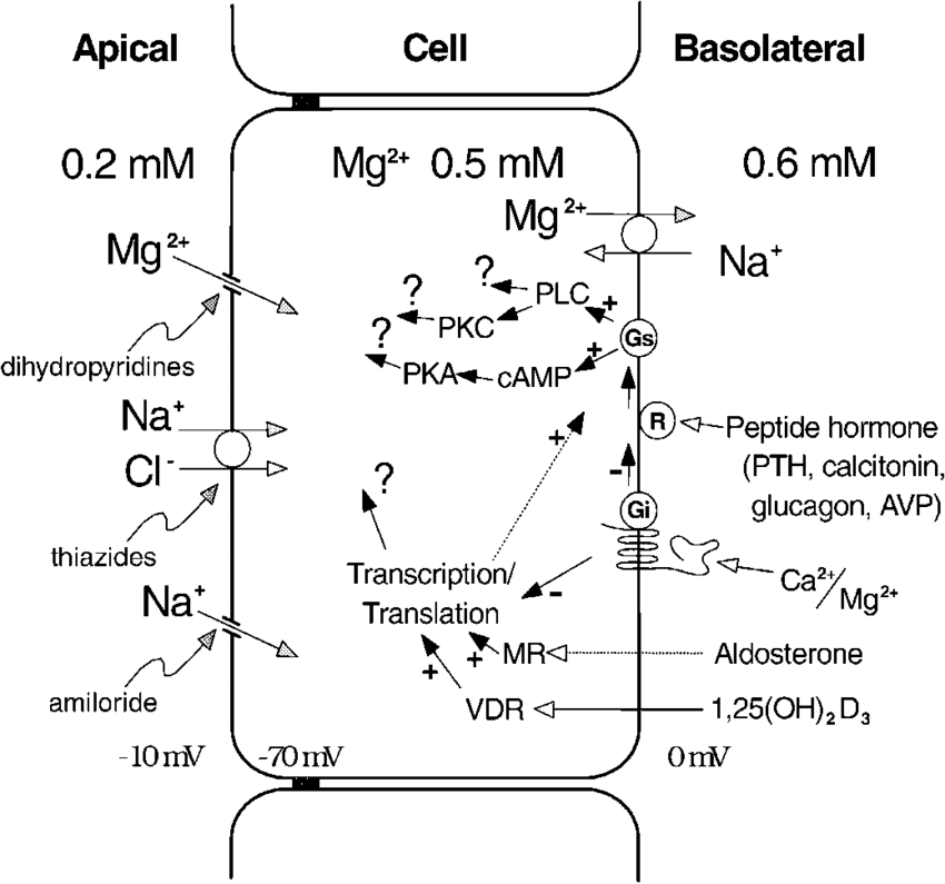 Schematic model of magnesium absorption in the distal