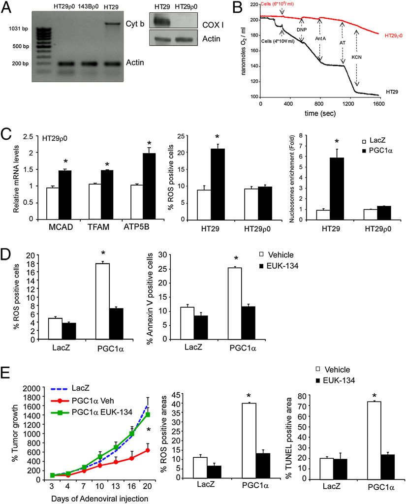 PGC1α proapoptotic effect in colorectal cancer cells is