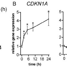p53 protein does not repress CD44 expression in colon