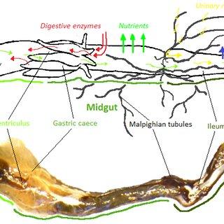 external grasshopper diagram cross section of muffler 18 structure a schematic nielsen 2000 the digestive system top drawing including flow fluids