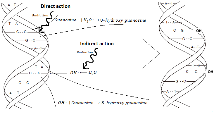 7 Direct and indirect action on DNA, exemplified by the