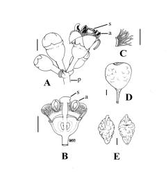 b longitudinal section through female flower showing band of moniliform hairs at the corolla throat c corolla fragment bearing moniliform hairs  [ 850 x 1138 Pixel ]