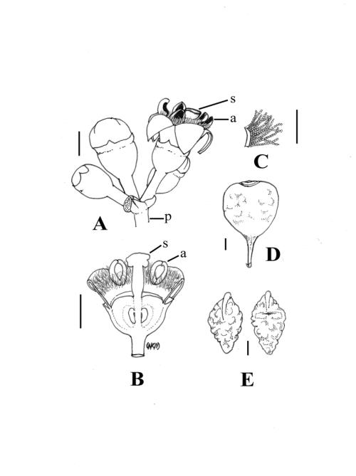 small resolution of b longitudinal section through female flower showing band of moniliform hairs at the corolla throat c corolla fragment bearing moniliform hairs