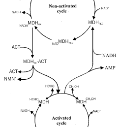 model of the effects of act on mdh reaction cycles in this model two types [ 830 x 1251 Pixel ]