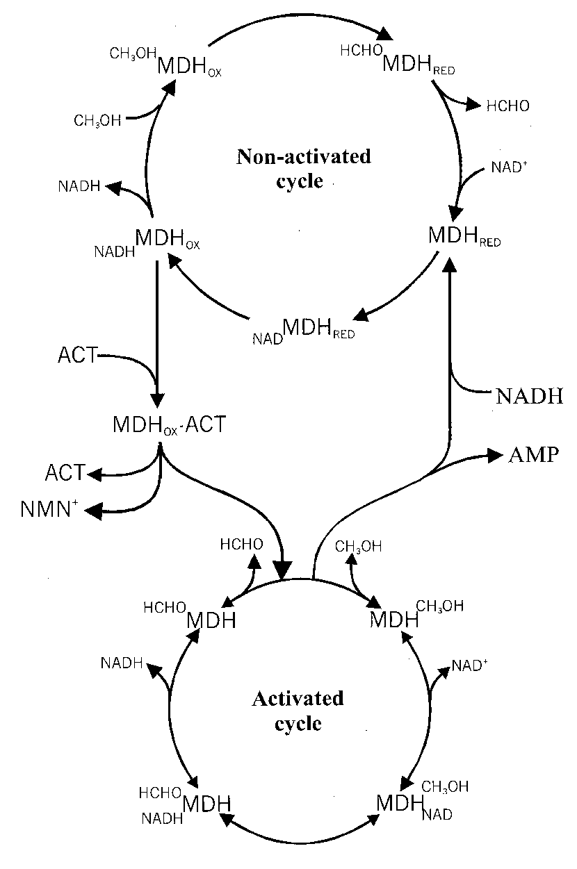 medium resolution of model of the effects of act on mdh reaction cycles in this model two types