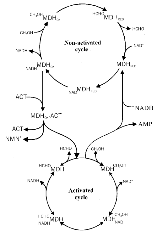 small resolution of model of the effects of act on mdh reaction cycles in this model two types