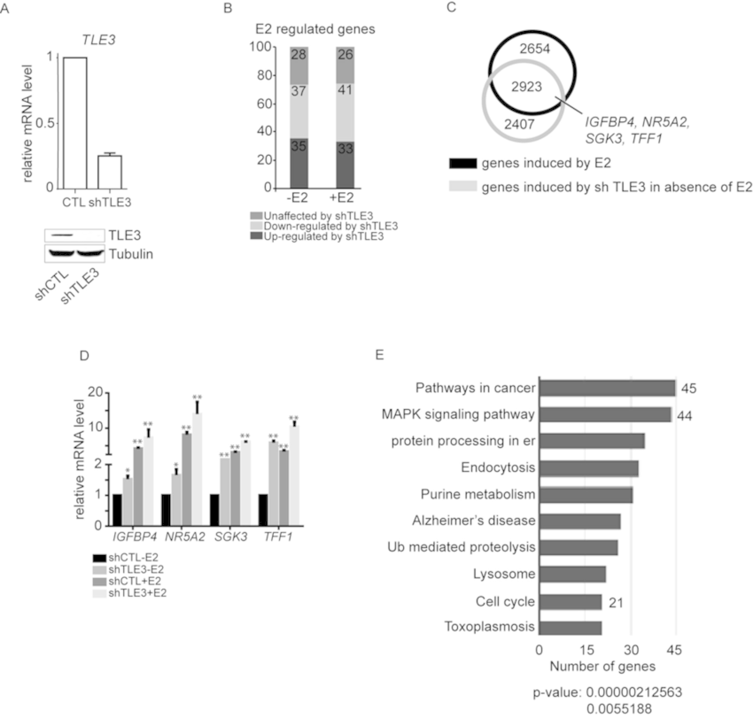 TLE3 is involved in the regulation of ERα target genes