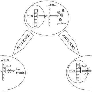 Chemical structure of PNA compared to protein and DNA. The