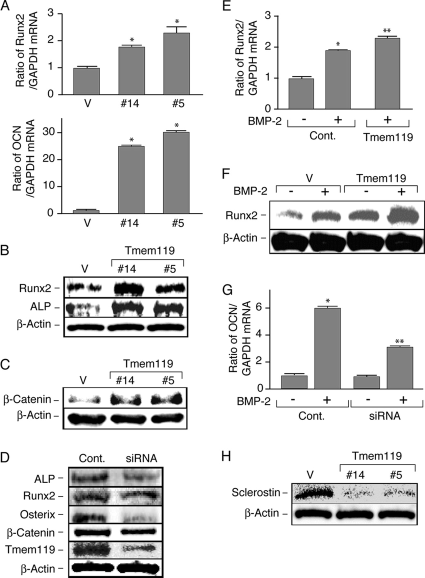 Tmem119 stimulates the differentiation of osteoblasts. A