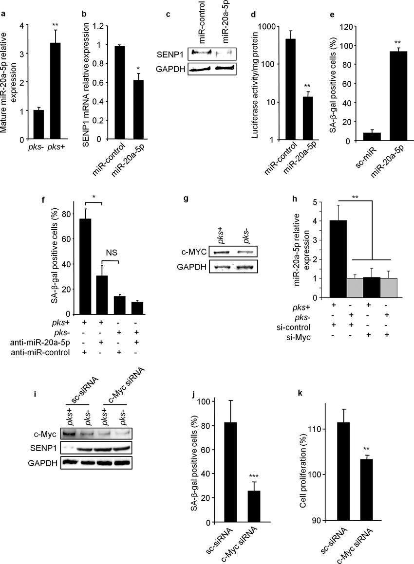 MiR-20a-5p represses SENP1 expression and controls the