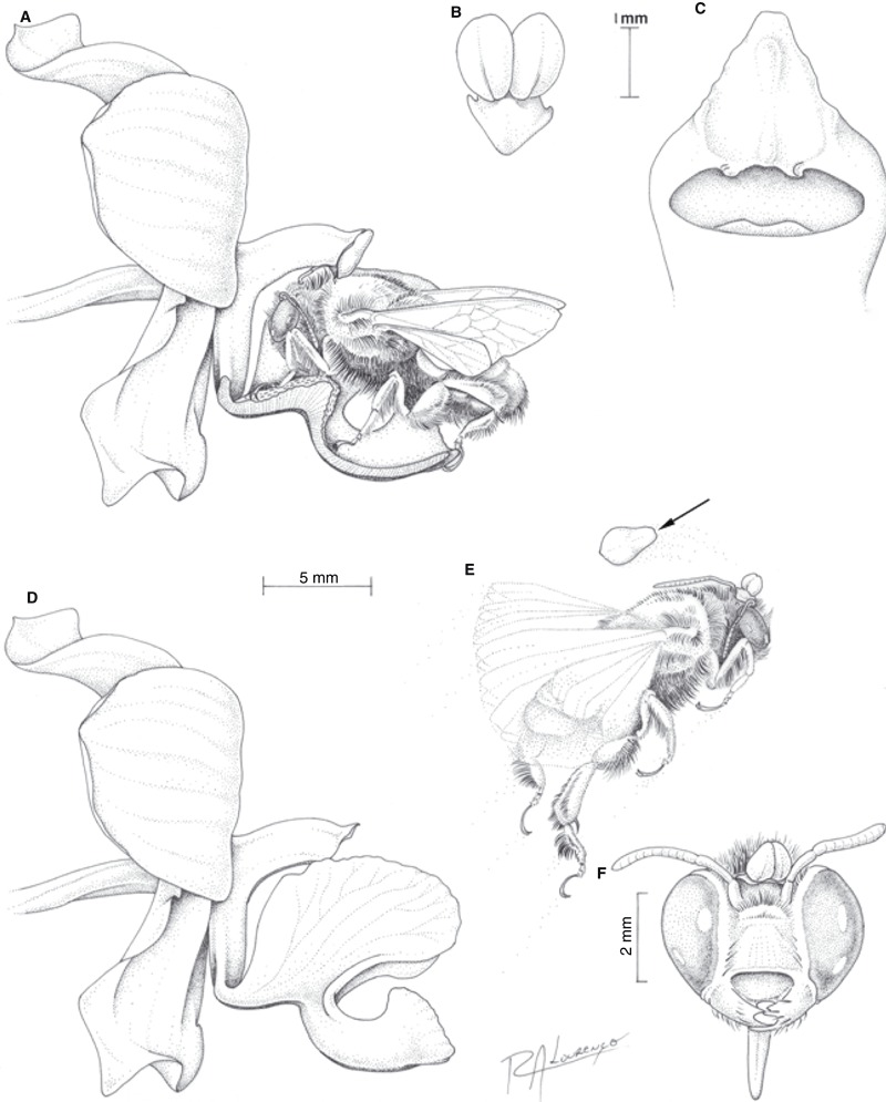 medium resolution of floral features and pollination mechanism of cyrtopodium polyphyllum download scientific diagram