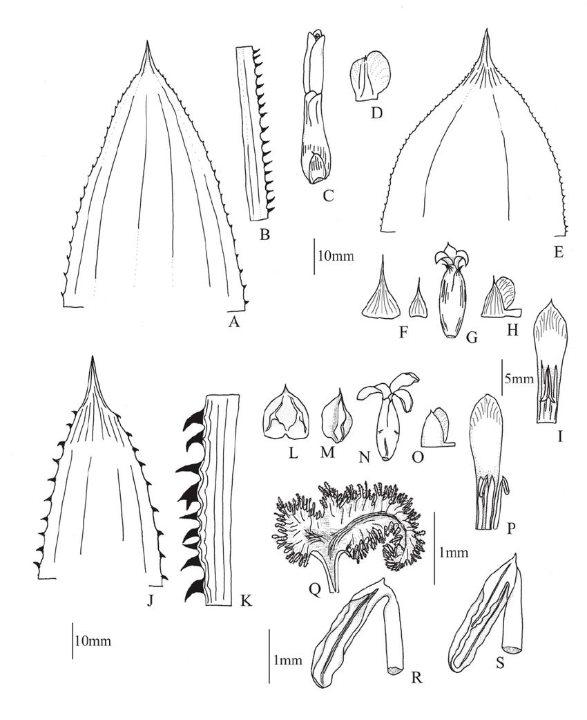 A–D . Aechmea avaldoana ( Reis Jr. & Soares s.n ). A