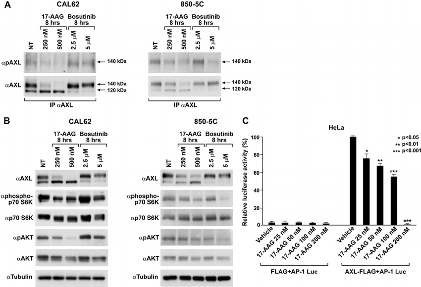 17-AAG inhibits AXL-mediated signaling and downstream