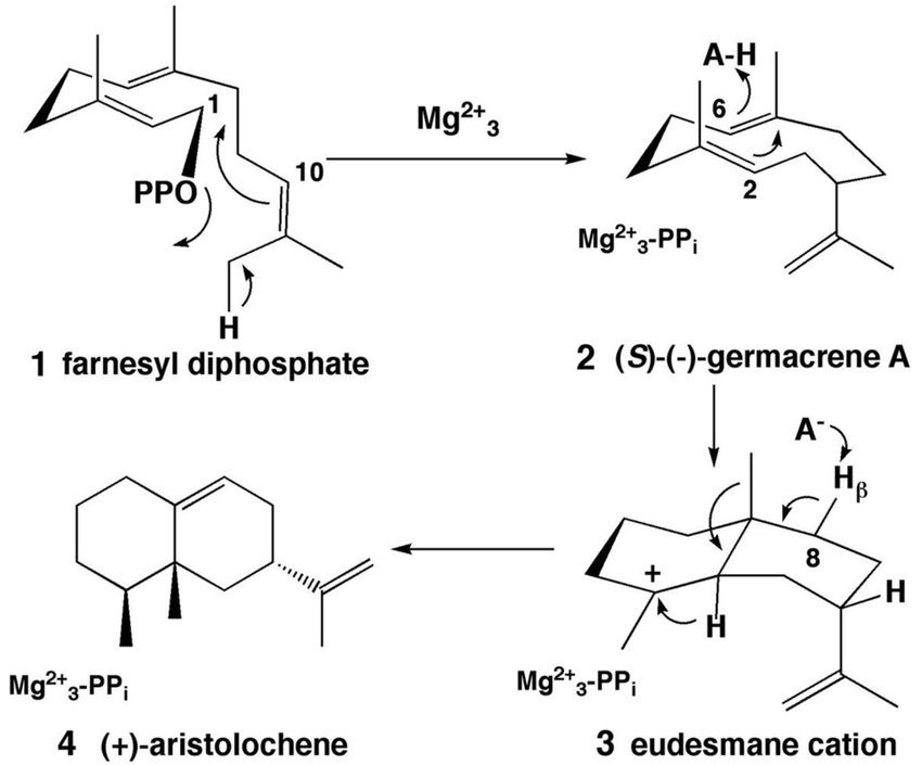 Cyclization of farnesyl diphosphate (1) to form