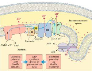 The electron transport chain, in the inner membrane of
