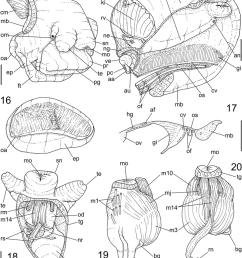 pseudonatica antarctica n sp anatomy 14 head foot female download scientific diagram [ 850 x 1009 Pixel ]