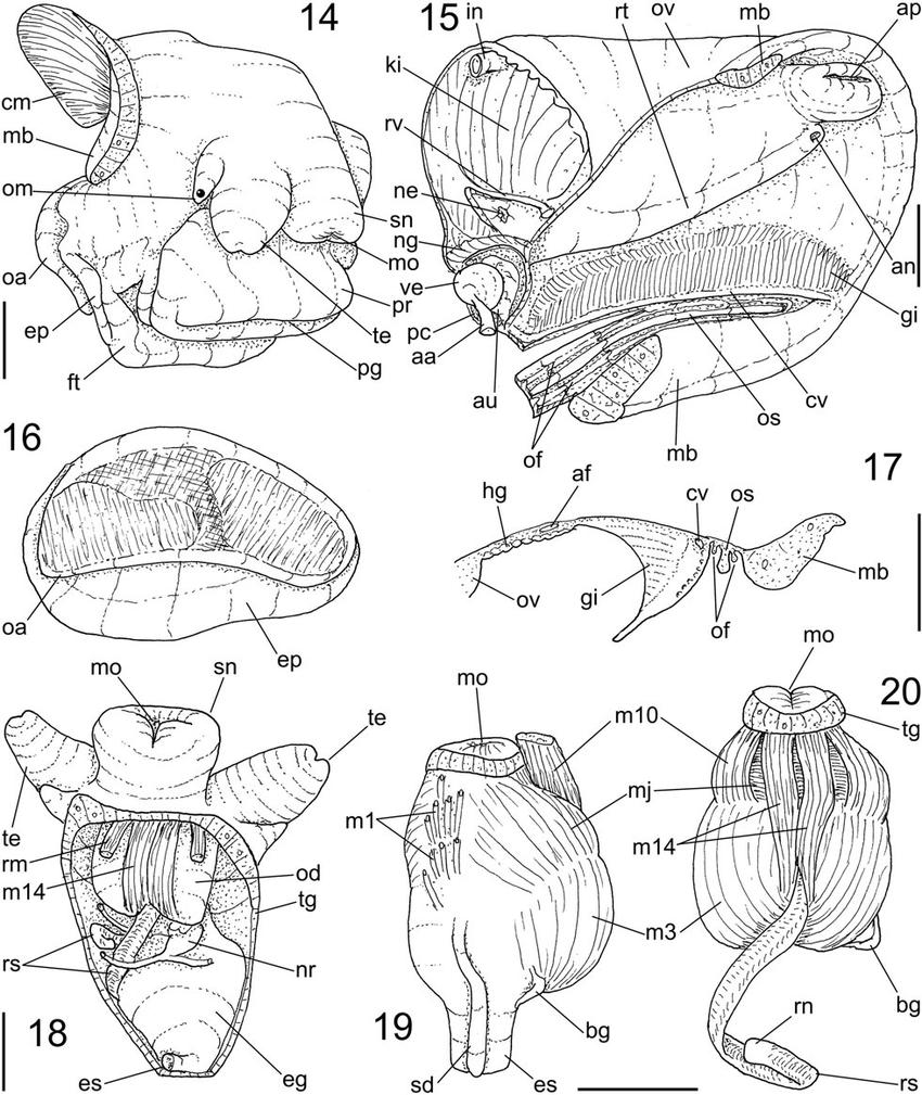 medium resolution of pseudonatica antarctica n sp anatomy 14 head foot female download scientific diagram