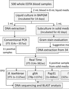 Flowchart of the culture and pcr based procedures performed to determine bartonella prevalence in also rh researchgate