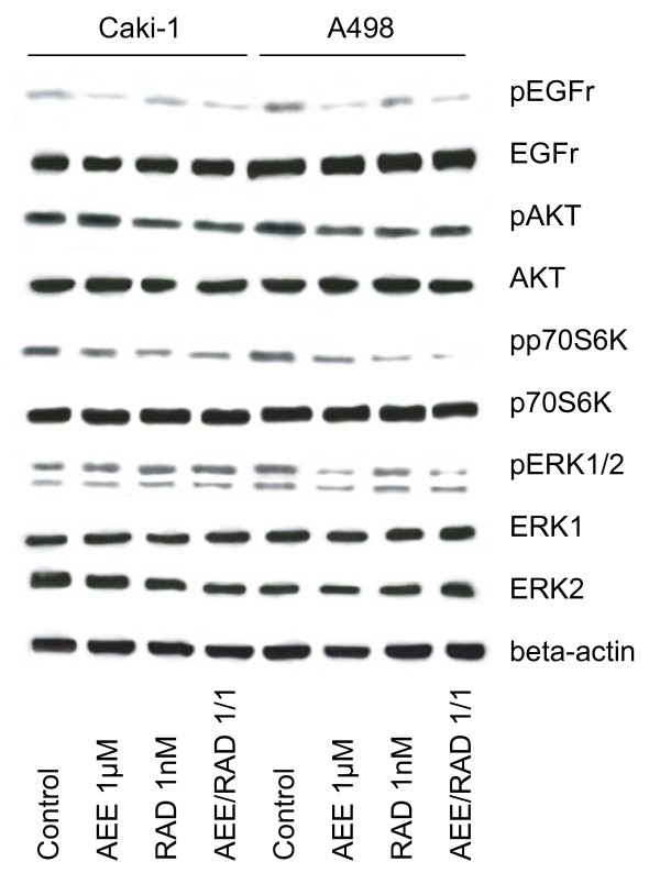 Western blot analysis of cell signaling proteins, listed