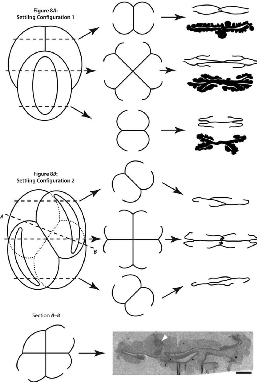 hight resolution of schematic diagram showing the arrangement of grains in the ricciisporites tuberculatus tetrad the symmetry of