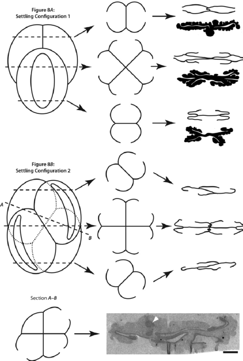 small resolution of schematic diagram showing the arrangement of grains in the ricciisporites tuberculatus tetrad the symmetry of