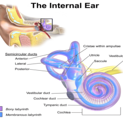 Stapes Anatomy Diagram Pollak Ignition Switch Wiring Of Inner Ear. It Consists Six Mechanoreceptor Structures: | Download Scientific