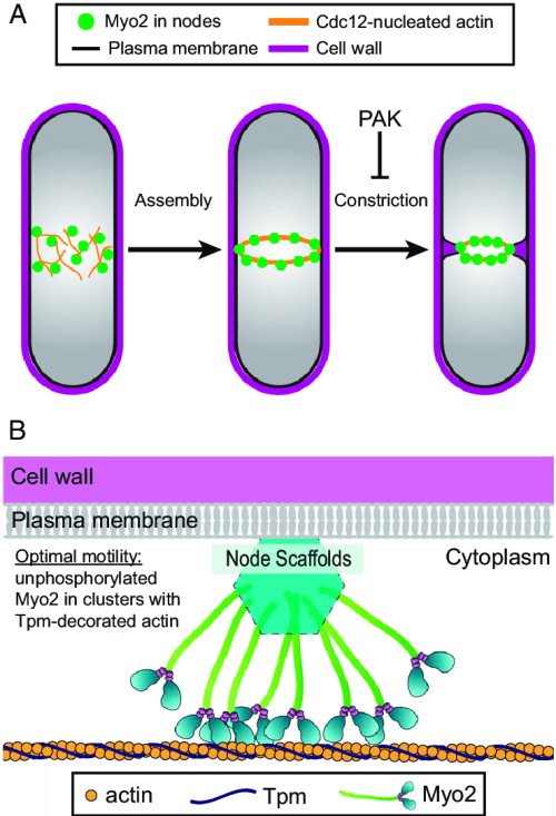 small resolution of myo2 activation by recruitment into nodes a diagram of fission yeast cytokinesis