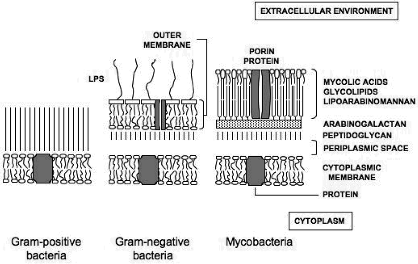Schematic representation of the cell envelopes of Gram