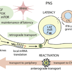 Simple Epithelial Cell Diagram Renault Megane 2 Wiring Establishment And Control Of Alpha Herpesvirus Latency In Pns Neurons... | Download Scientific ...