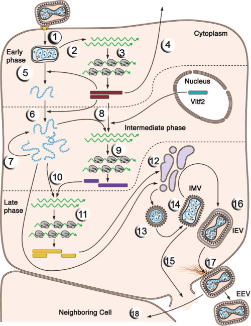 small resolution of the single cell reproductive cycle of vaccinia virus the entry and replication of an