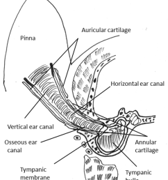 schematic representation of the anatomy of canine external ear canal and middle ear  [ 850 x 1027 Pixel ]