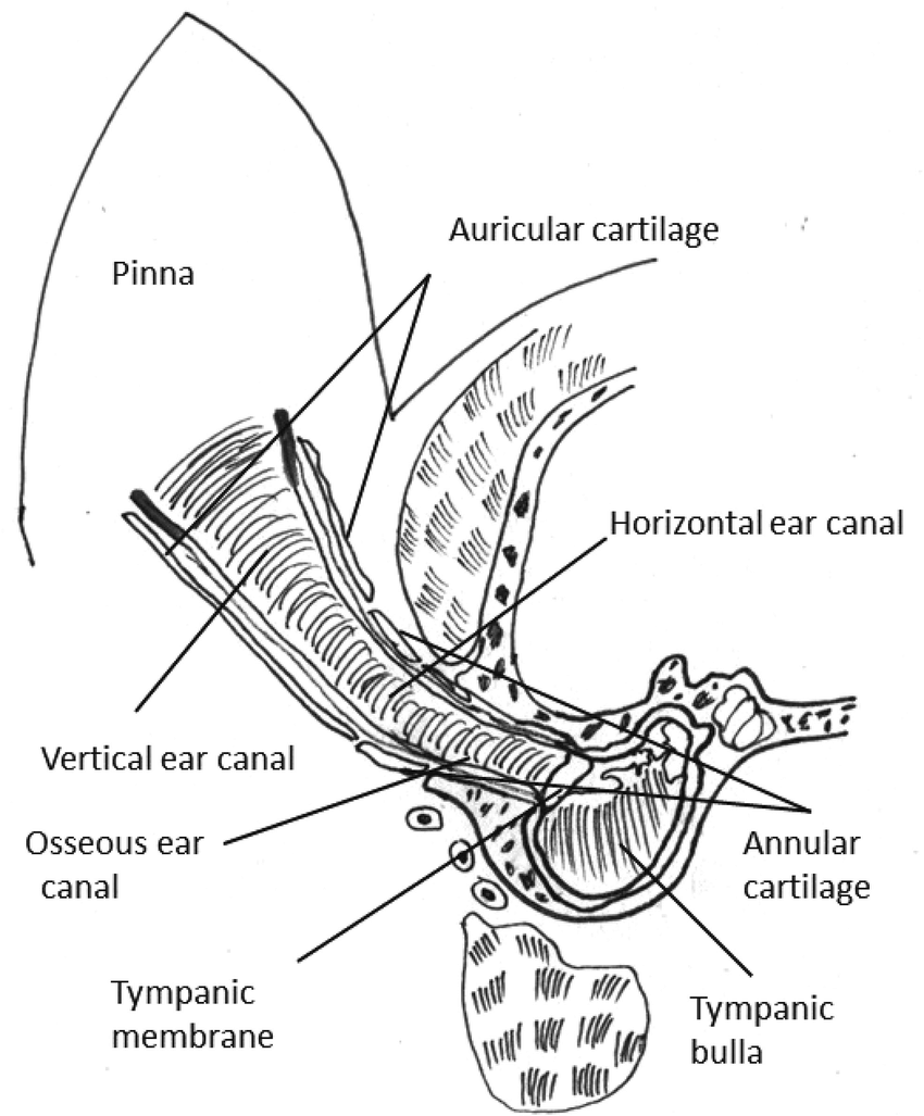 hight resolution of schematic representation of the anatomy of canine external ear canal and middle ear