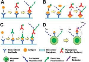 A diagram illustrating four possible immunoassay binding configurations | Download Scientific